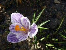 açafrão Açafrão da mola na luz da arte da luz solar Cor original da flor do açafrão da mola no jardim Nenhum processo do cargo Mi Fotografia de Stock