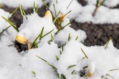Açafrão da mola que floresce da neve Imagem de Stock