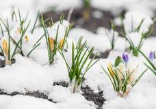 Açafrão da mola que floresce da neve Fotos de Stock Royalty Free