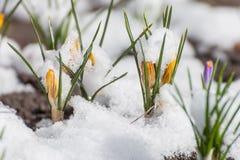 Açafrão da mola que floresce da neve Imagens de Stock