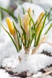 Açafrão da mola que floresce da neve Fotografia de Stock