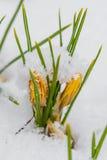 Açafrão da mola que floresce da neve Imagens de Stock Royalty Free