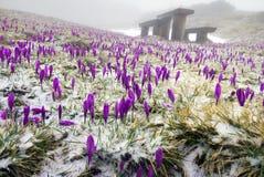 Açafrão da neve nos Carpathians Foto de Stock Royalty Free