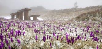 Açafrão da neve nos Carpathians Imagens de Stock Royalty Free