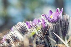 Açafrão da pradaria, anêmona do cutleaf Fotos de Stock