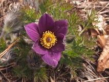 Açafrão da pradaria na flor Fotografia de Stock