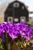 Açafrão da primavera Imagens de Stock