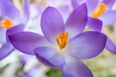 Açafrão da primavera Fotos de Stock