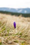 Açafrão das flores selvagens da montanha Fotos de Stock Royalty Free