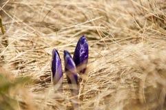 Açafrão das flores selvagens da montanha Imagens de Stock Royalty Free