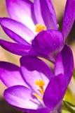 Açafrão de duas violetas Imagens de Stock Royalty Free