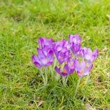 Açafrão de florescência Foto de Stock