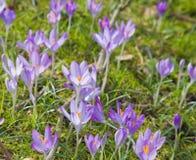Açafrão de florescência Foto de Stock Royalty Free