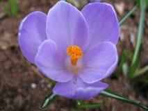 Açafrão de florescência Fotografia de Stock