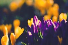 Açafrão de florescência Fotos de Stock