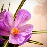 Açafrão de florescência Imagens de Stock Royalty Free