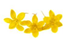 Açafrão de florescência amarelo em um branco Imagem de Stock Royalty Free