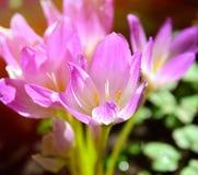 Açafrão de florescência cor-de-rosa nos raios de um sol brilhante Foto de Stock Royalty Free