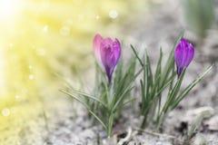 Açafrão de florescência da mola no sol Imagens de Stock