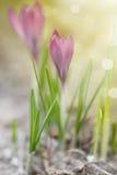 Açafrão de florescência da mola no sol Imagens de Stock Royalty Free