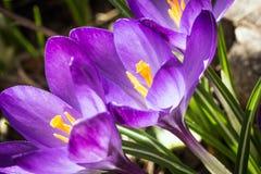 Açafrão de florescência do roxo das flores em botão Fotografia de Stock