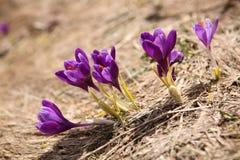 Açafrão de florescência em Carpathian Foto de Stock Royalty Free