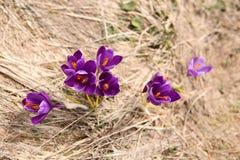 Açafrão de florescência em Carpathian Fotos de Stock