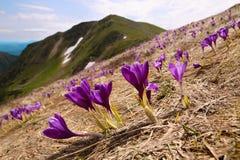 Açafrão de florescência em Carpathian Imagens de Stock