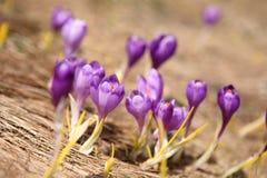 Açafrão de florescência em Carpathian Fotografia de Stock Royalty Free