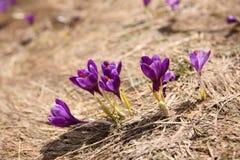 Açafrão de florescência em Carpathian Imagem de Stock Royalty Free