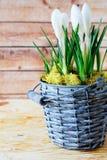 Açafrão de florescência em uma cubeta de vime Fotografia de Stock