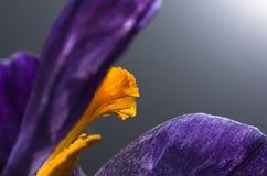 Açafrão de florescência, especiaria, close-up, fundo Imagens de Stock