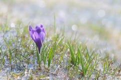 Açafrão de florescência na água Fotografia de Stock Royalty Free