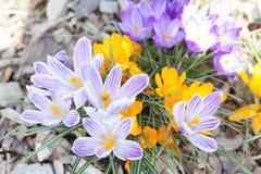 Açafrão de florescência na mola Fotografia de Stock Royalty Free
