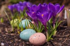 Açafrão de florescência, ovos de Easter Fotos de Stock