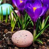 Açafrão de florescência, ovos de Easter Fotos de Stock Royalty Free