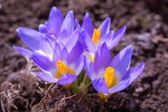 Açafrão de florescência roxo Fotos de Stock Royalty Free