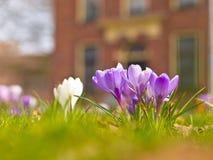 Açafrão de florescência violeta Fotos de Stock