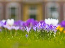 Açafrão de florescência violeta Fotos de Stock Royalty Free