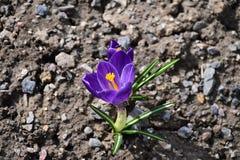 Açafrão de Herb Woodland do tommasinianus do açafrão, açafrão adiantado, açafrão de Tommasinis Imagem de Stock Royalty Free