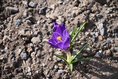 Açafrão de Herb Woodland do tommasinianus do açafrão, açafrão adiantado, açafrão de Tommasinis Imagem de Stock