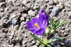 Açafrão de Herb Woodland do tommasinianus do açafrão, açafrão adiantado, açafrão de Tommasinis Imagens de Stock Royalty Free