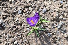 Açafrão de Herb Woodland do tommasinianus do açafrão, açafrão adiantado, açafrão de Tommasinis Foto de Stock