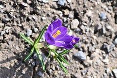 Açafrão de Herb Woodland do tommasinianus do açafrão, açafrão adiantado, açafrão de Tommasinis Fotografia de Stock Royalty Free