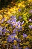 Açafrão de outono Fotografia de Stock Royalty Free