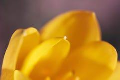 Açafrão de outono Foto de Stock