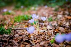 Açafrão de outono do autumnale de Violet Colchicum, açafrão de prado, senhora despida com fundo obscuro verde da floresta Imagem de Stock