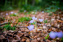Açafrão de outono do autumnale de Violet Colchicum, açafrão de prado, senhora despida com fundo obscuro verde da floresta Imagens de Stock