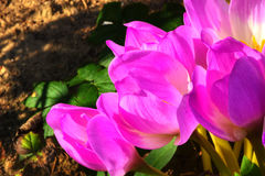 Açafrão de outono Flor Fotografia de Stock