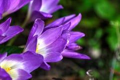 Açafrão de outono Flor Imagens de Stock